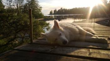 Koira nukkuu laiturilla