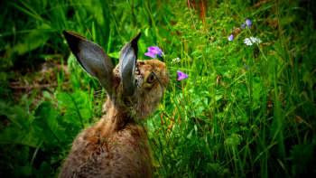 Rusakko syö kukkia
