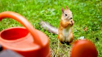 Orava nurmikolla seisoo takajaloillaan