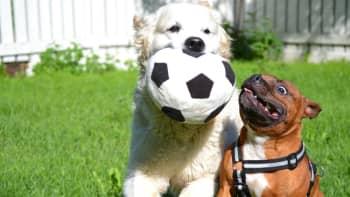 Kaksi koiraa leikkivät nurmikolla jalkapallolla