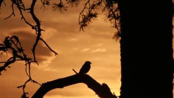 Lintu istuu oksalla auringonlaskua katsomassa
