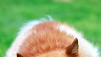 Suomenpystykorva syö nurmikolla makkaraa