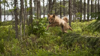 Suomenpystykorva juoksee metsässä