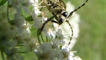 Lähikuva hyönteisestä