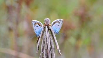 Suopursuun istahtaneet perhoset