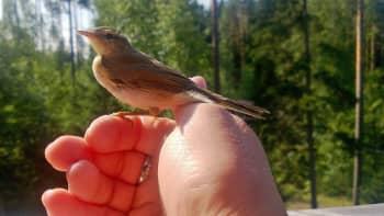 Lintu istuu miehen kädellä