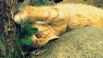 Kissa makaa selällään kiven päällä