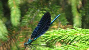Sudenkorento kuusenoksalla
