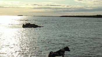 Koira hyppii vedessä