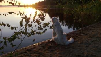 Koira istuu rannalla ja katsoo auringonlaskua tyynellä säällä