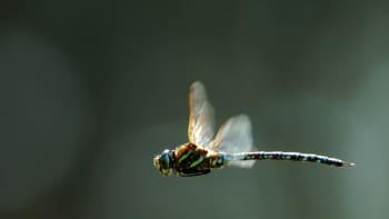 Sudenkorento lentää