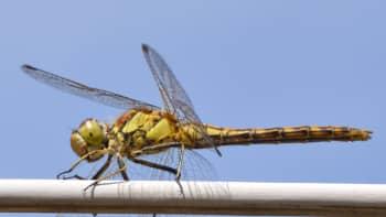 Sudenkorento lähikuvassa