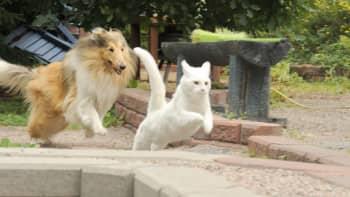 Collie ja valkoinen kissa leikkii keskenään