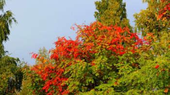 Pihlajan lehdet punertuvat.