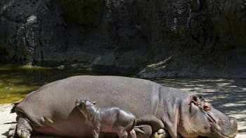 Yhdeksän päivän ikäinen virtahevon poikanen emonsa vierellä Meksiko Cityn eläintarhassa.