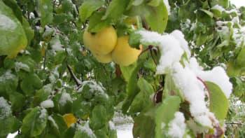 Lunta omenapuun oksilla