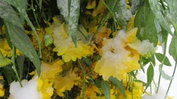 Kukkia lumen alla