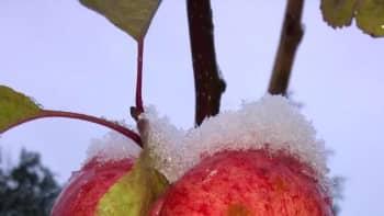 Omenoita lumen alla