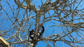 Kissa puussa.