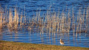 Lintu järven rannalla.