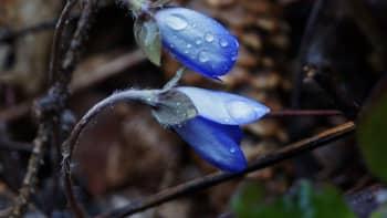 Vesipisaroita kukkien terälehdillä.