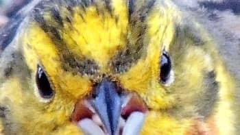 Lintu siemeniä nokassaan.