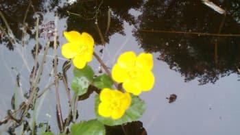 Rentukan kukkia vedessä