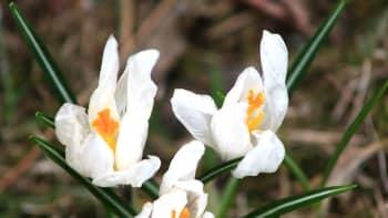 Krookuksen kukkia