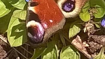 Neitoperhonen kukkien päällä