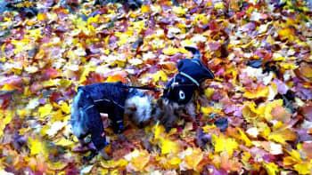 Kaksi koiraa haistelee kellastuneita lehtiä.
