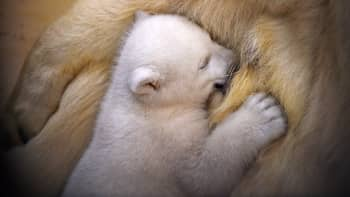 Joulukuussa Bremerhavenin eläintarhassa syntynyt jääkarhun poikanen.