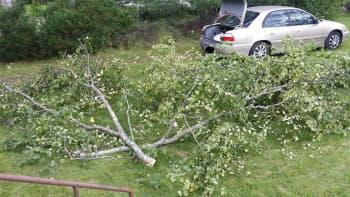 Myrskytuulen kaatama puu.