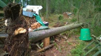 Puu kaatunut.