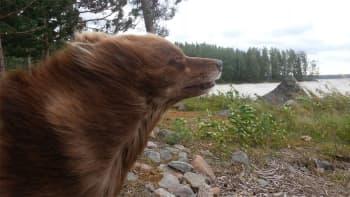 Koiran turkki tuulessa.