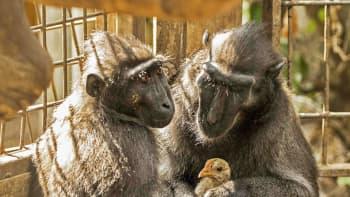 Kaksi apinaa ja kana aitauksessa.