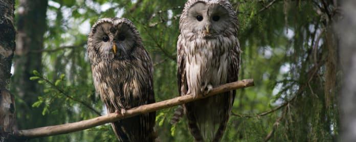 viirupöllö, Ranuan eläinpuisto, Elias ja Blondi