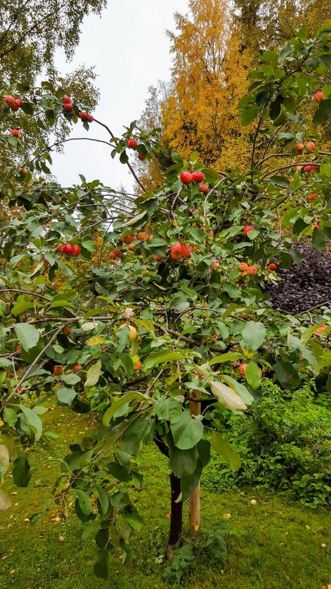Suomen ihastuttavin puu -finalisti, Liisan omenapuu.