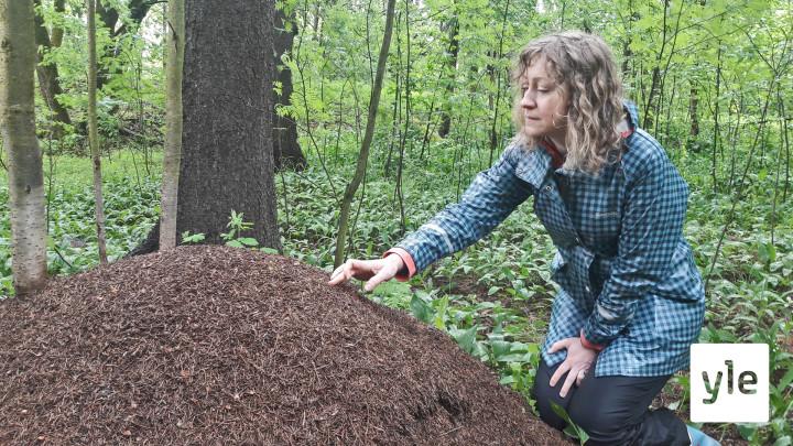 Hämmästyttävät muurahaiset ja kekseliäät muurahaistutkijat