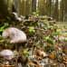 Matsutake kasvaa kuivilla kankailla