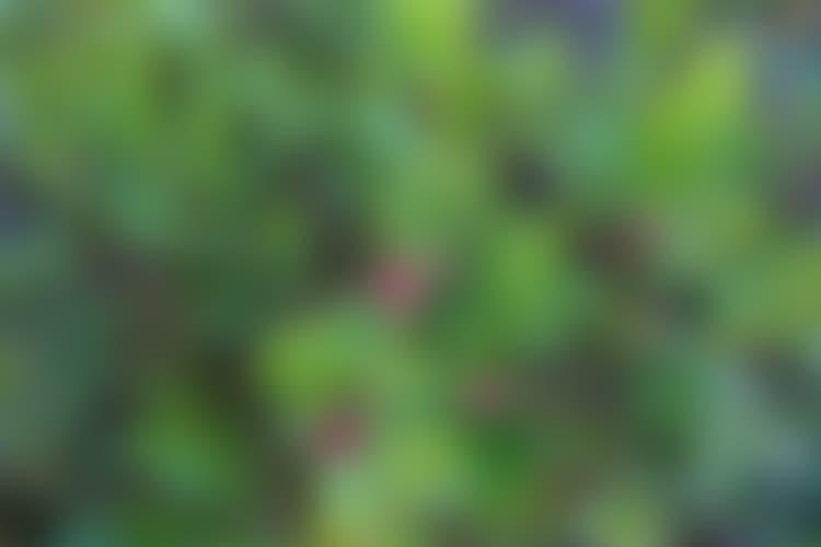 Mustikkametsä kutsuu vasta elokuun alussa – sato keskinkertainen | Yle Uutiset | yle.fi
