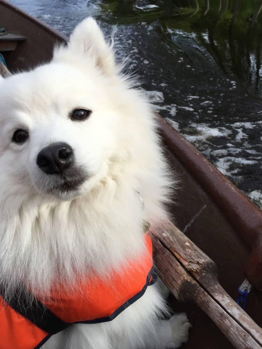 Sumo-koira.