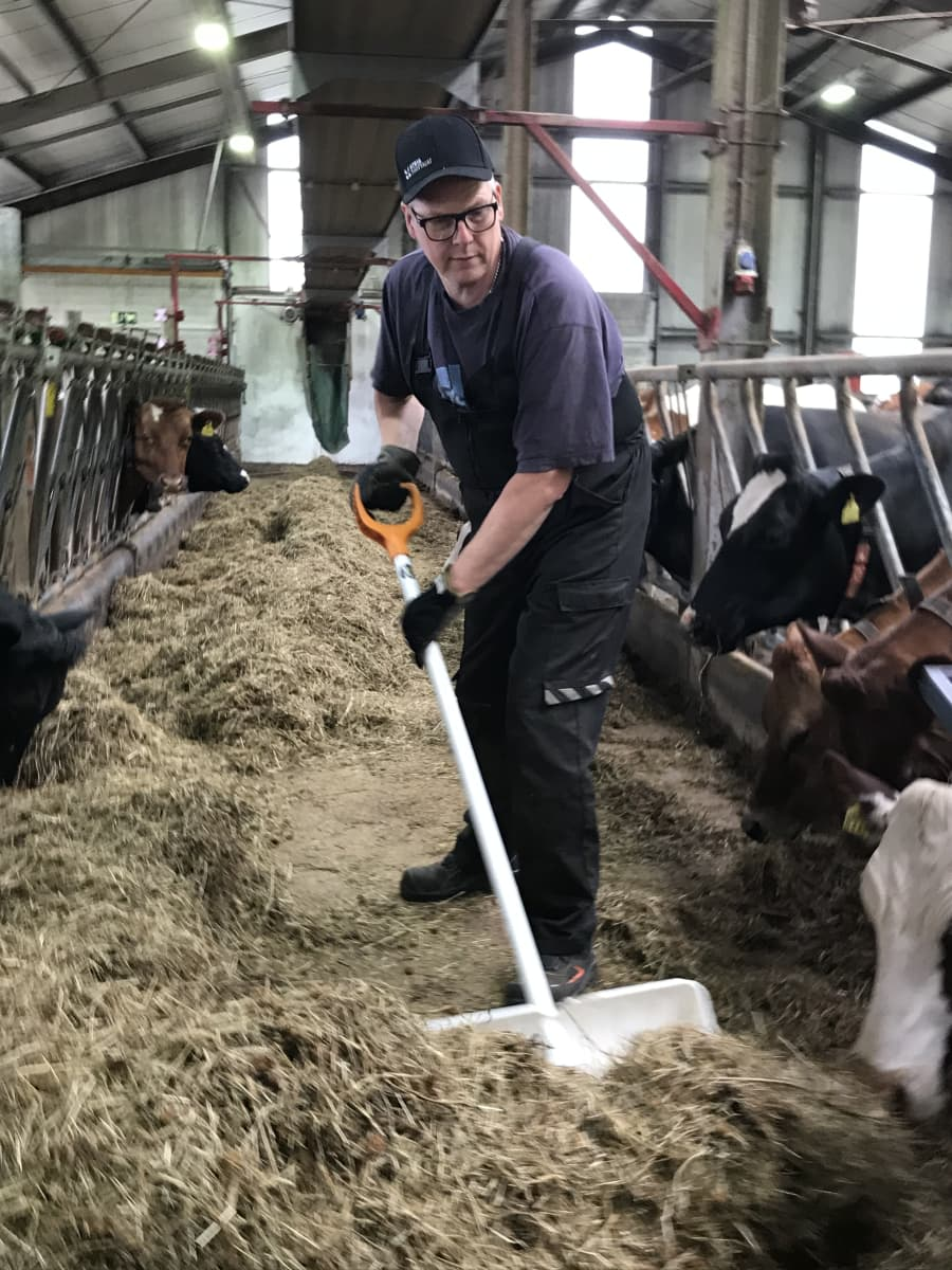Lippalakkipäinen pitkä mies siirtää valkoisella lapiolla karjan ruokaa navetassa.