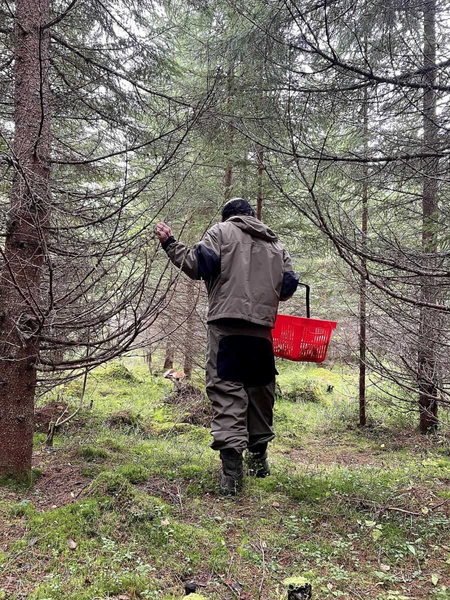 Sotkamolainen Heikki Tervo sienimetsässä.