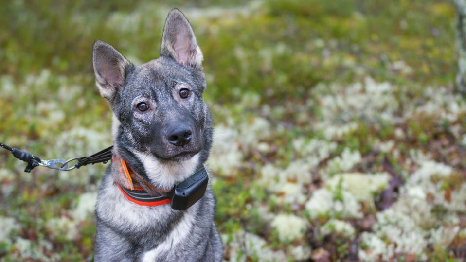 Hirvikoira metsästyskoira koira lemmikki gps paikannin