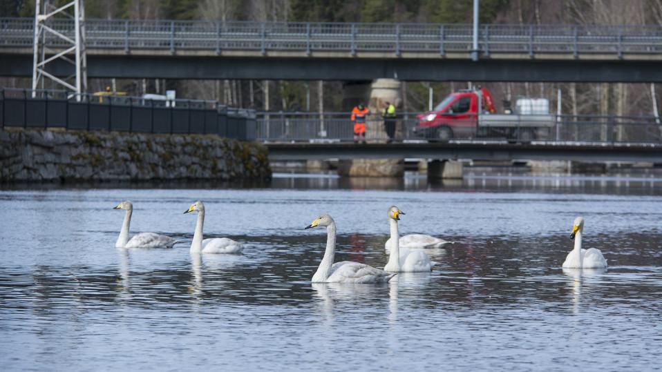 Kymmenet cityjoutsenet hengailevat keskellä kaupunkia Kajaanissa: