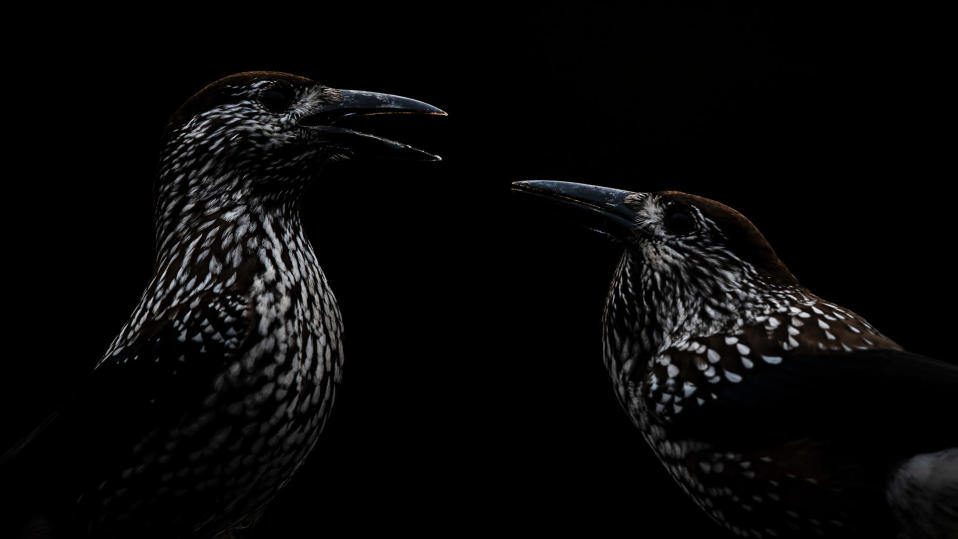 Kaksi tummaa lintua.