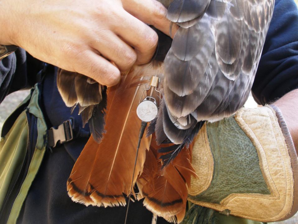 GPS-lähettimellä varustettu Zina ei voi hävitä. Näin ei käynyt edes silloin, kun lintu lähti liitelemään kilometrien päähän kouluttajastaan.