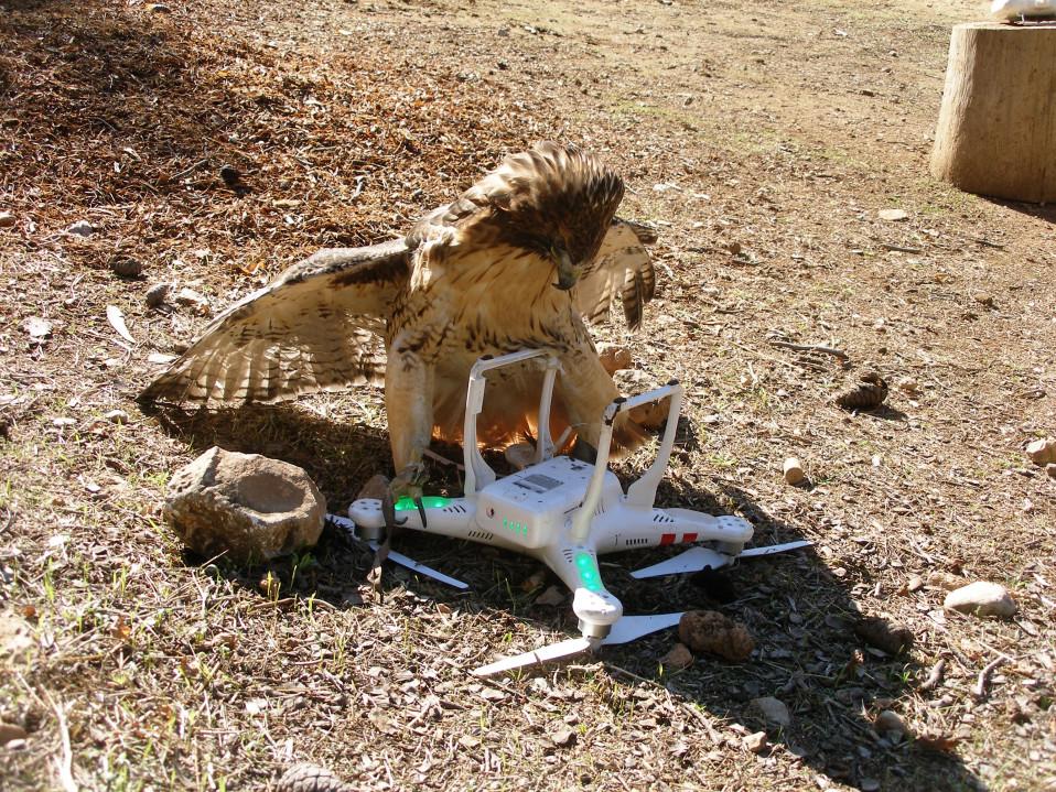 Zina on laskeutunut droonin kanssa maastoon ja suojelee saalistaan. Lennokin tiputus on Zinan harjoitusohjelmassa ainakin kerran viikossa.