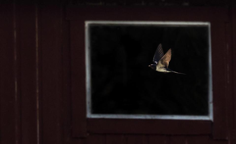 Lintu lentää, taustalla lato.
