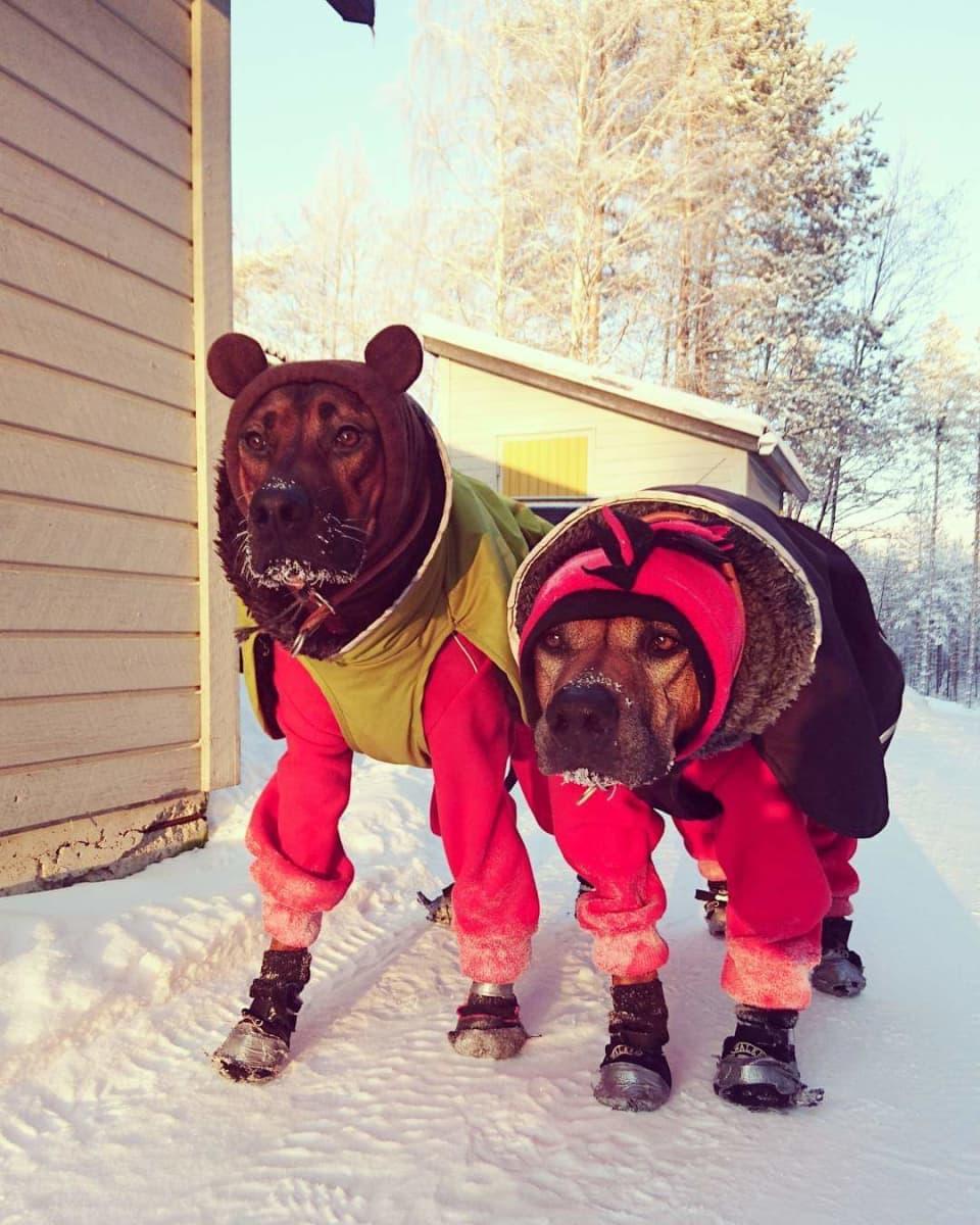 Kaksi koiraa talvivaatteissa